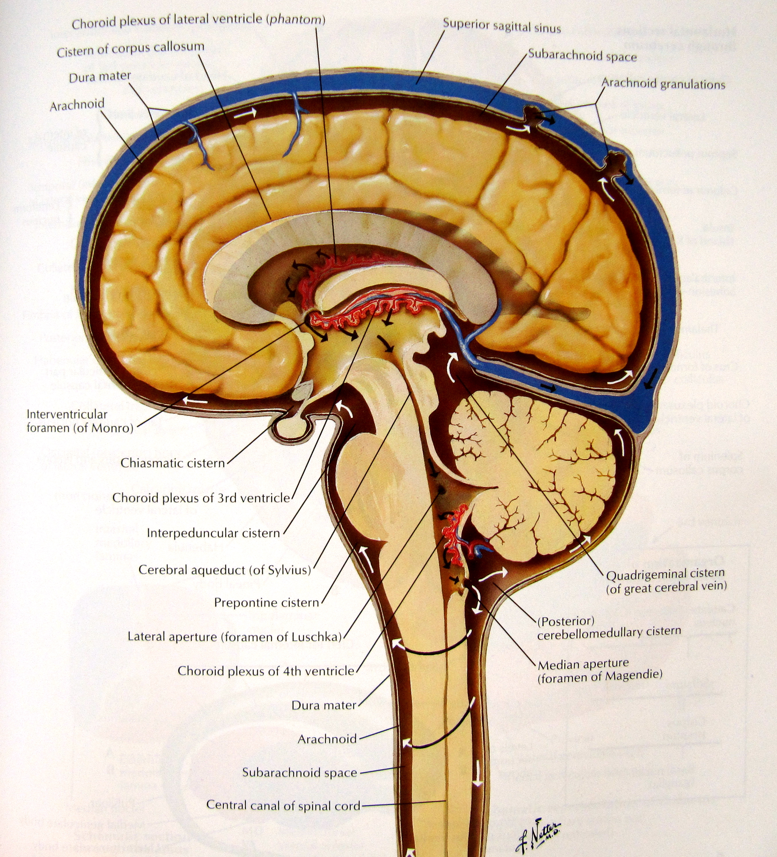 Notes On Anatomy And Physiology The Dorsal Cavity And Its Contents on cranial circulatory system