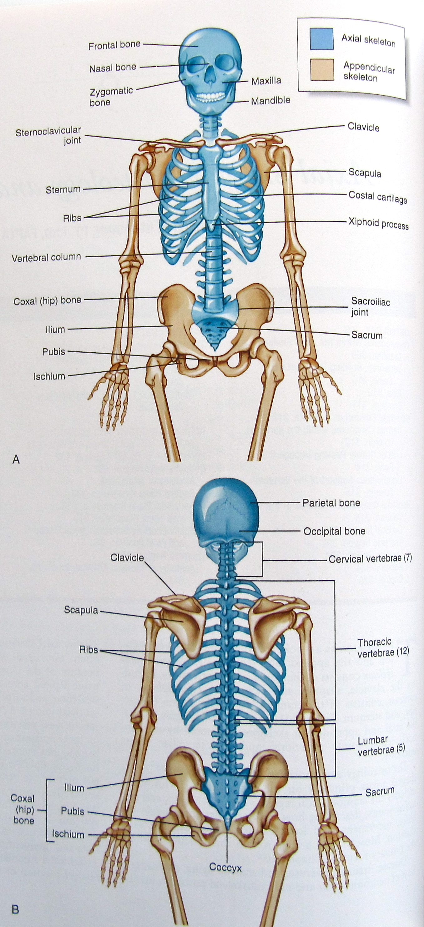 All the functionality connected with a Axial skeletal frame