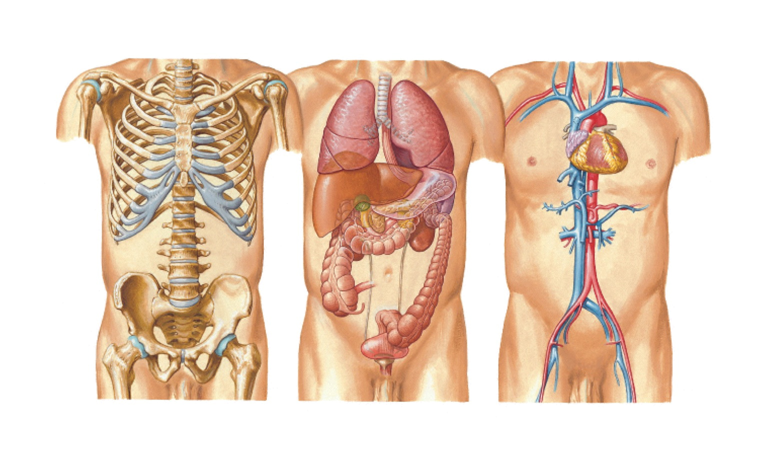 Fig 4 Organs of the chest,