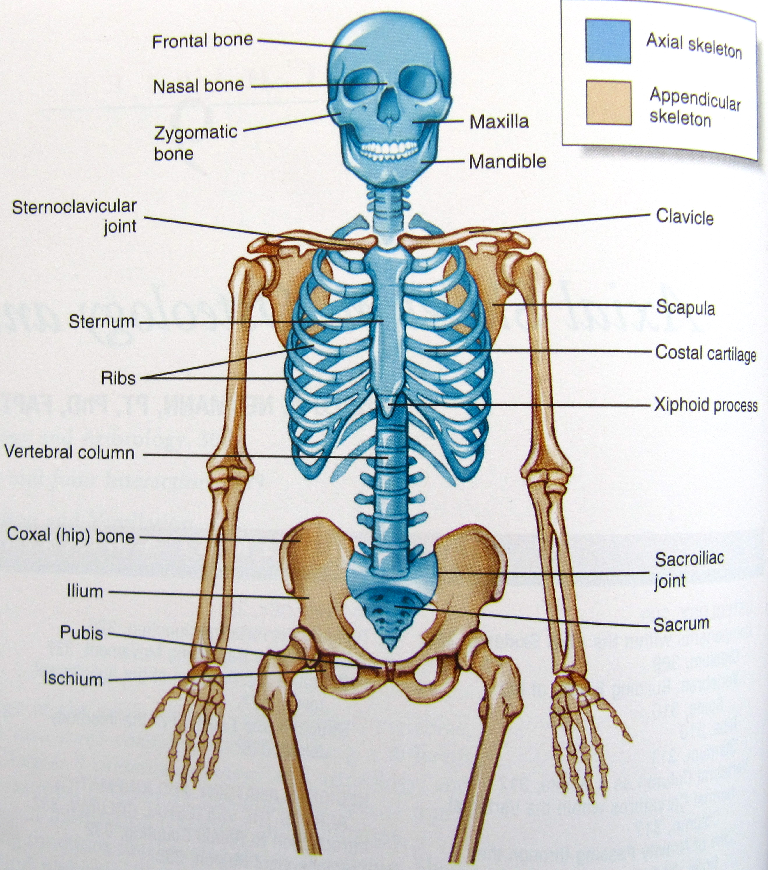 Notes on Anatomy and Physiology: The Spinal Column |