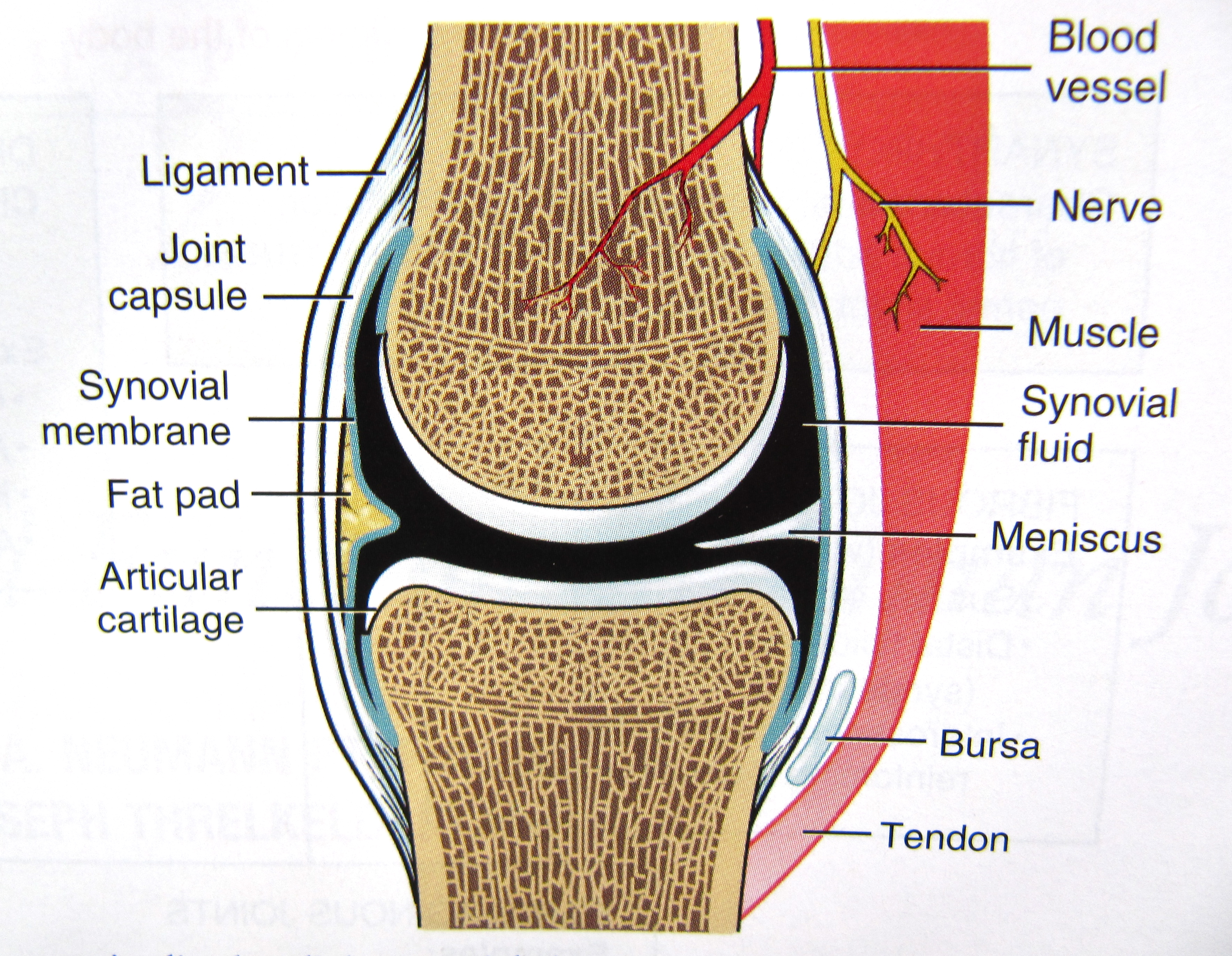 Knee synovium anatomy