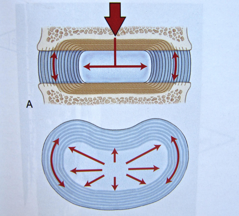 Vertebral disk anatomy