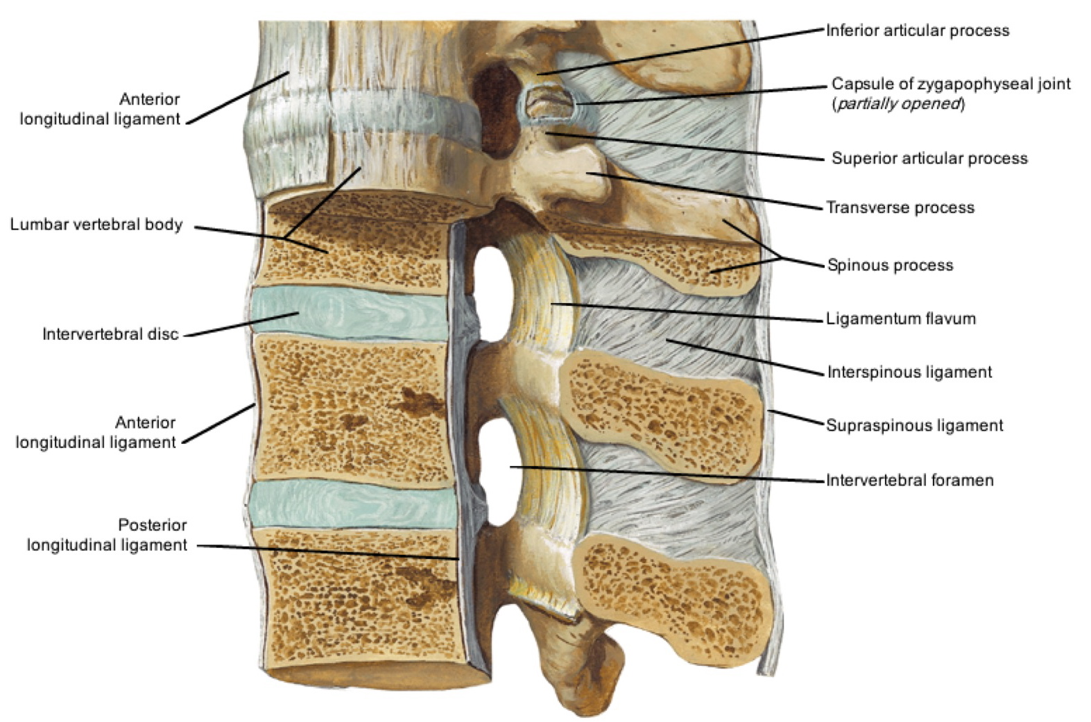 Notes on Anatomy and Physiology: The Spinal Ligaments – Holding All ...