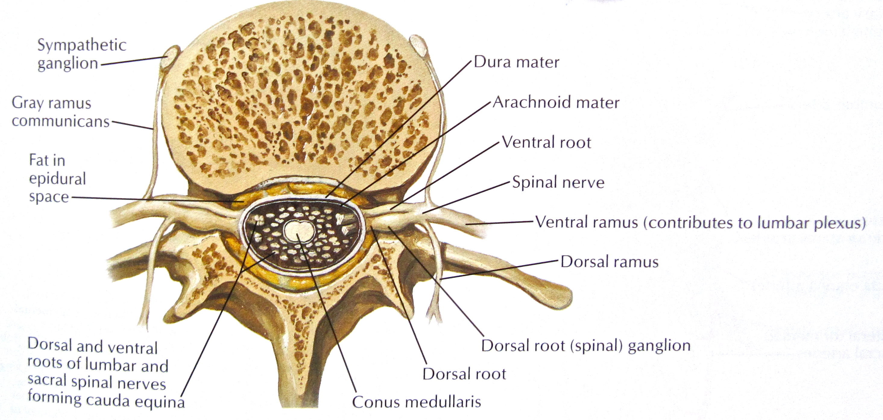 Notes on Anatomy and Physiology: Spinal Stenosis |