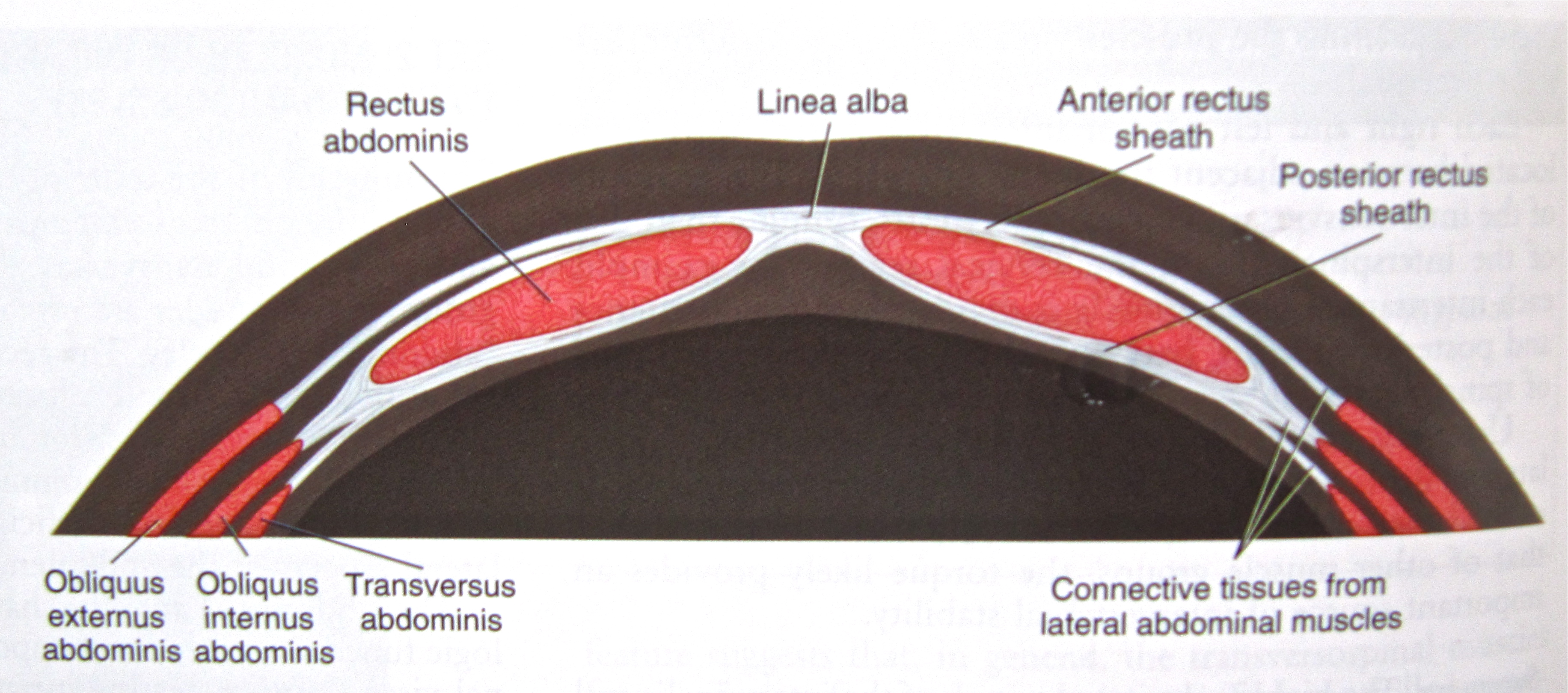 Notes on Anatomy and Physiology: The Thoracolumbar Fascia |
