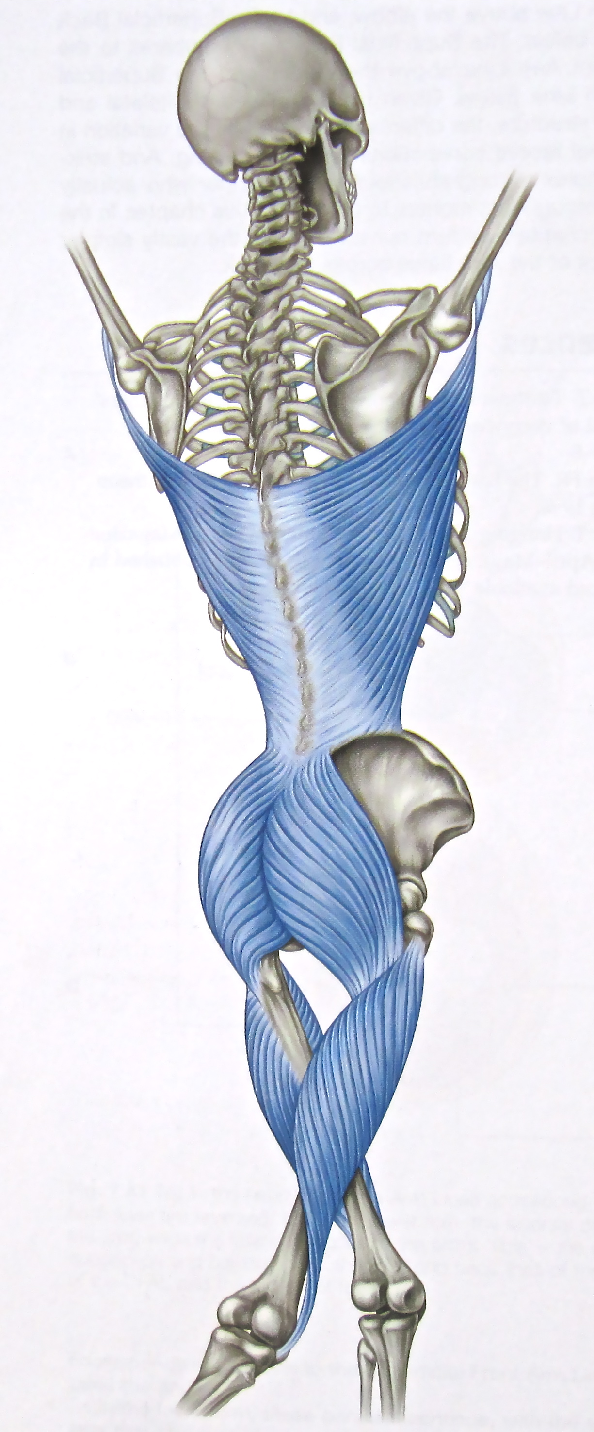 Notes on Anatomy and Physiology: The Thoracolumbar Fascia