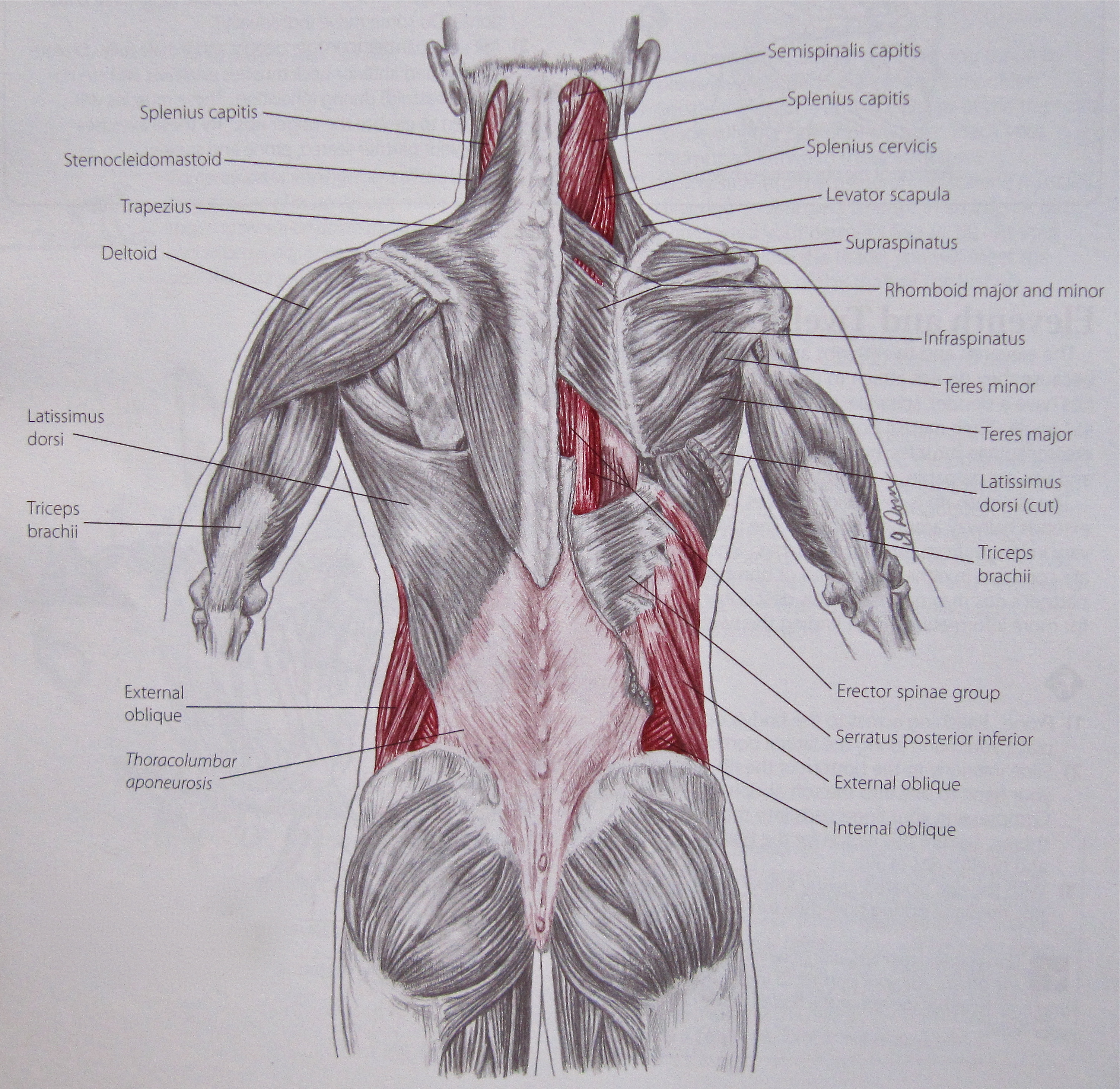 Back Muscle Anatomy Diagram