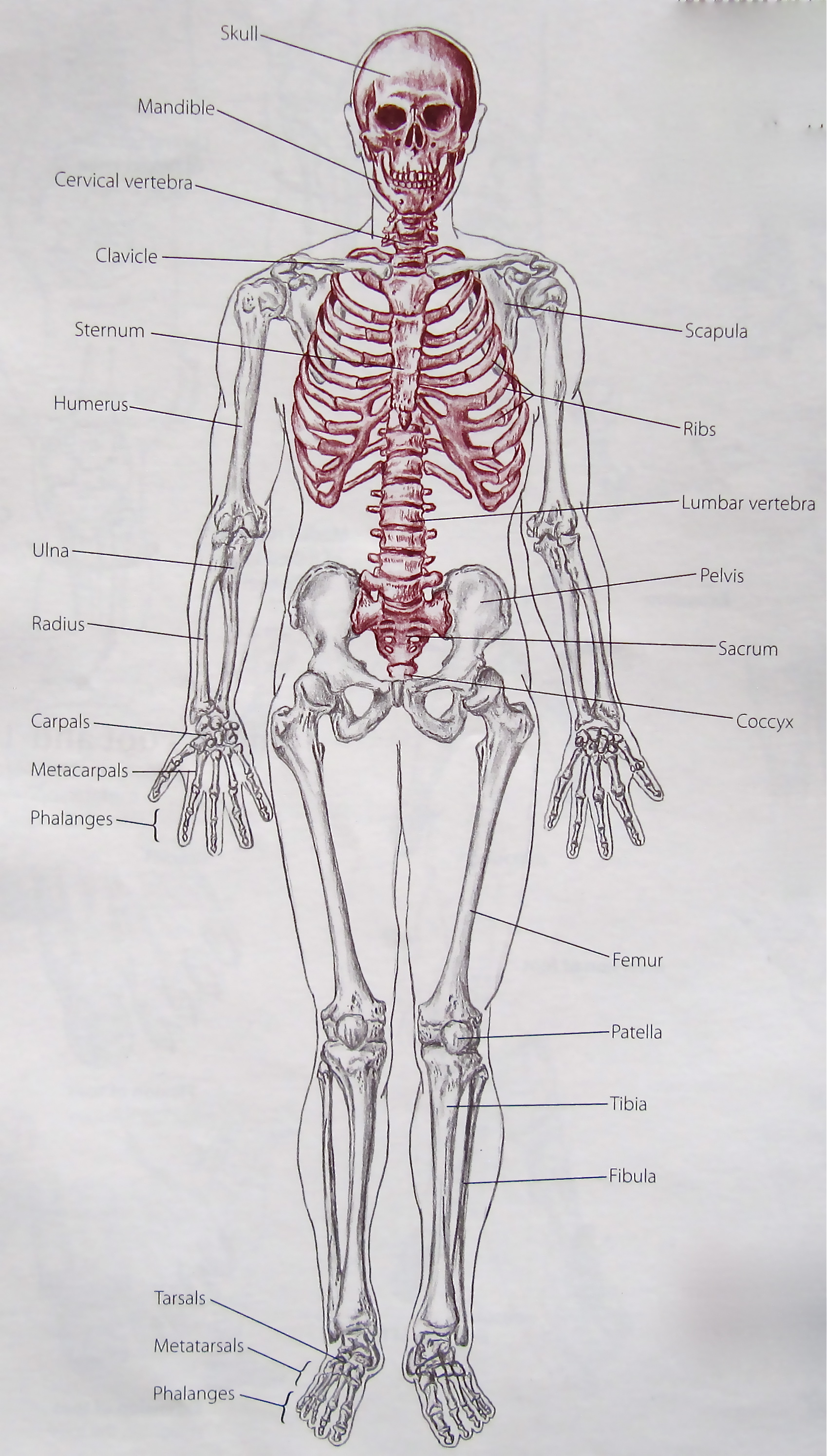 Notes on Anatomy and Physiology: Learning with the Hand and Elbow |