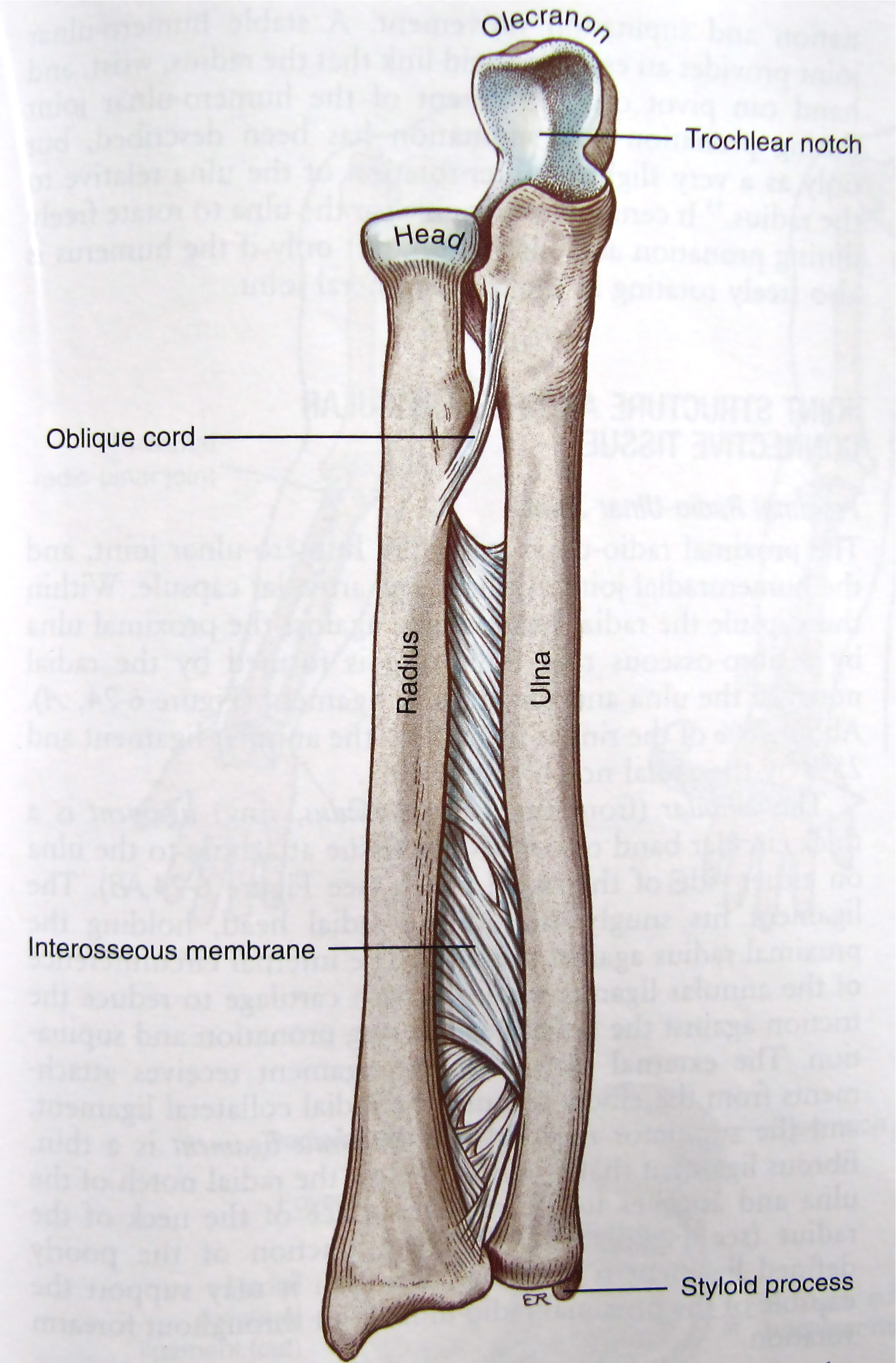 Notes on Anatomy and Physiology: The Elbow-Forearm Complex - The ...