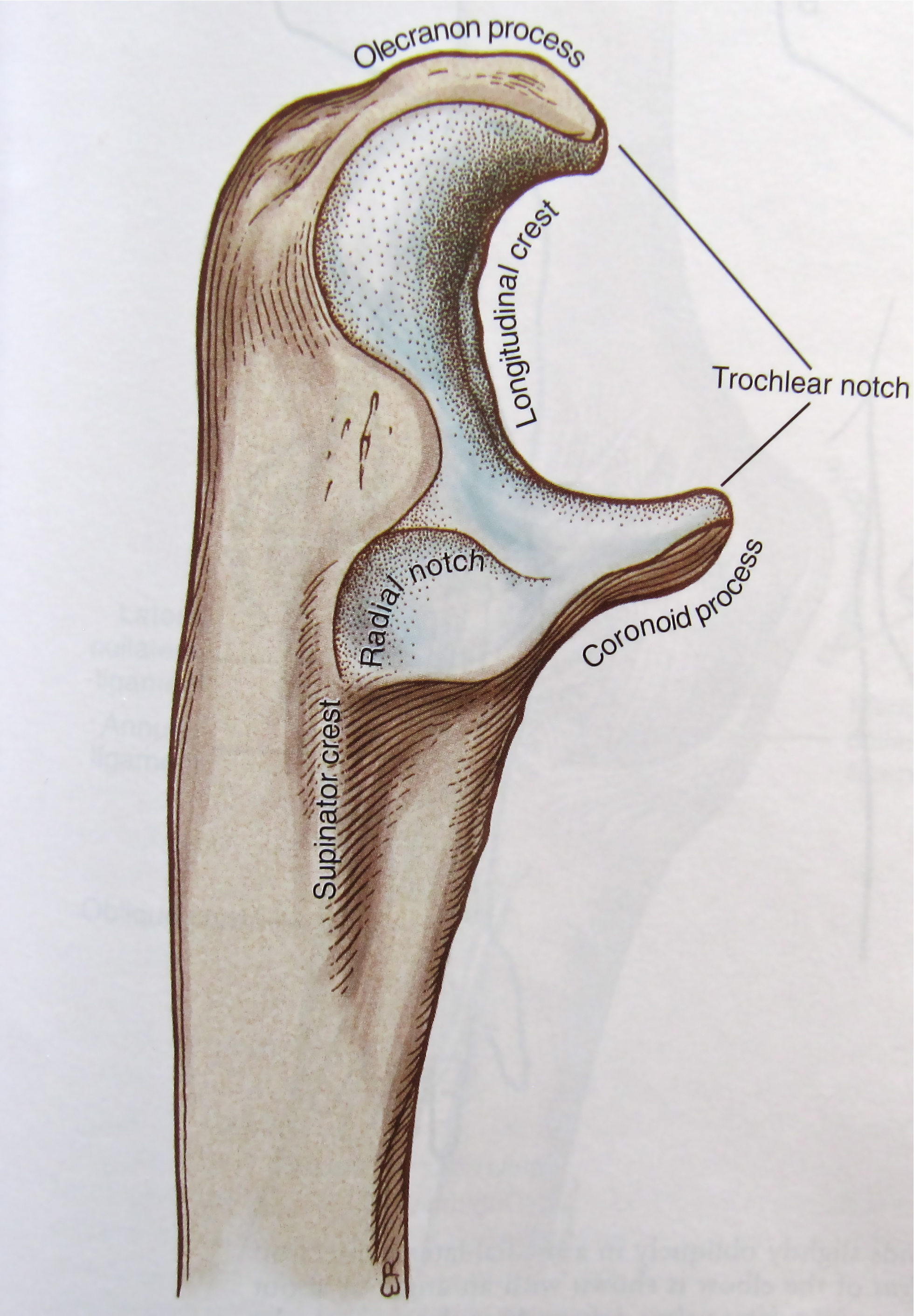 Notes On Anatomy And Physiology The Elbow Forearm Complex