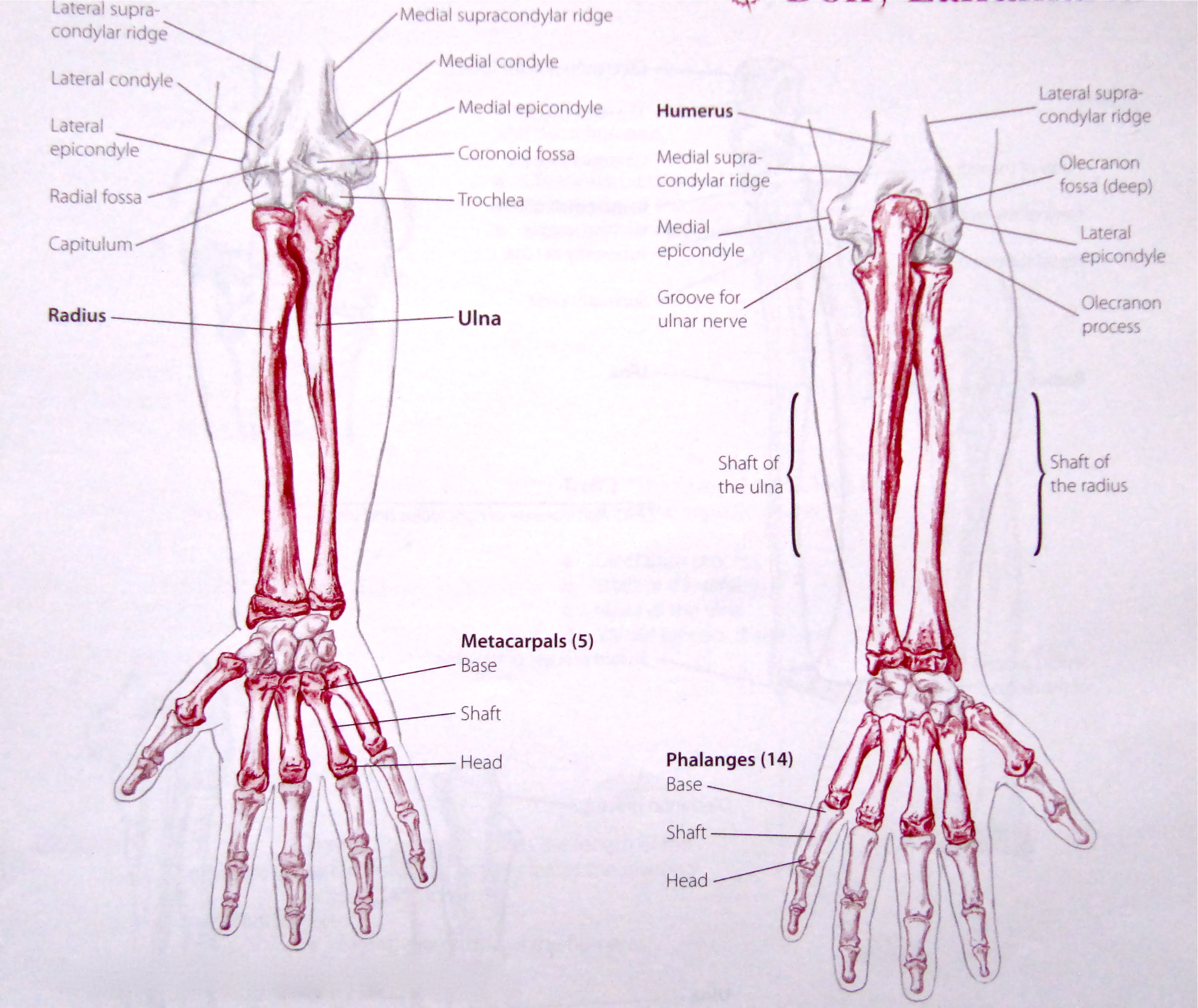 Notes on Anatomy and Physiology: The Elbow-Forearm Complex |