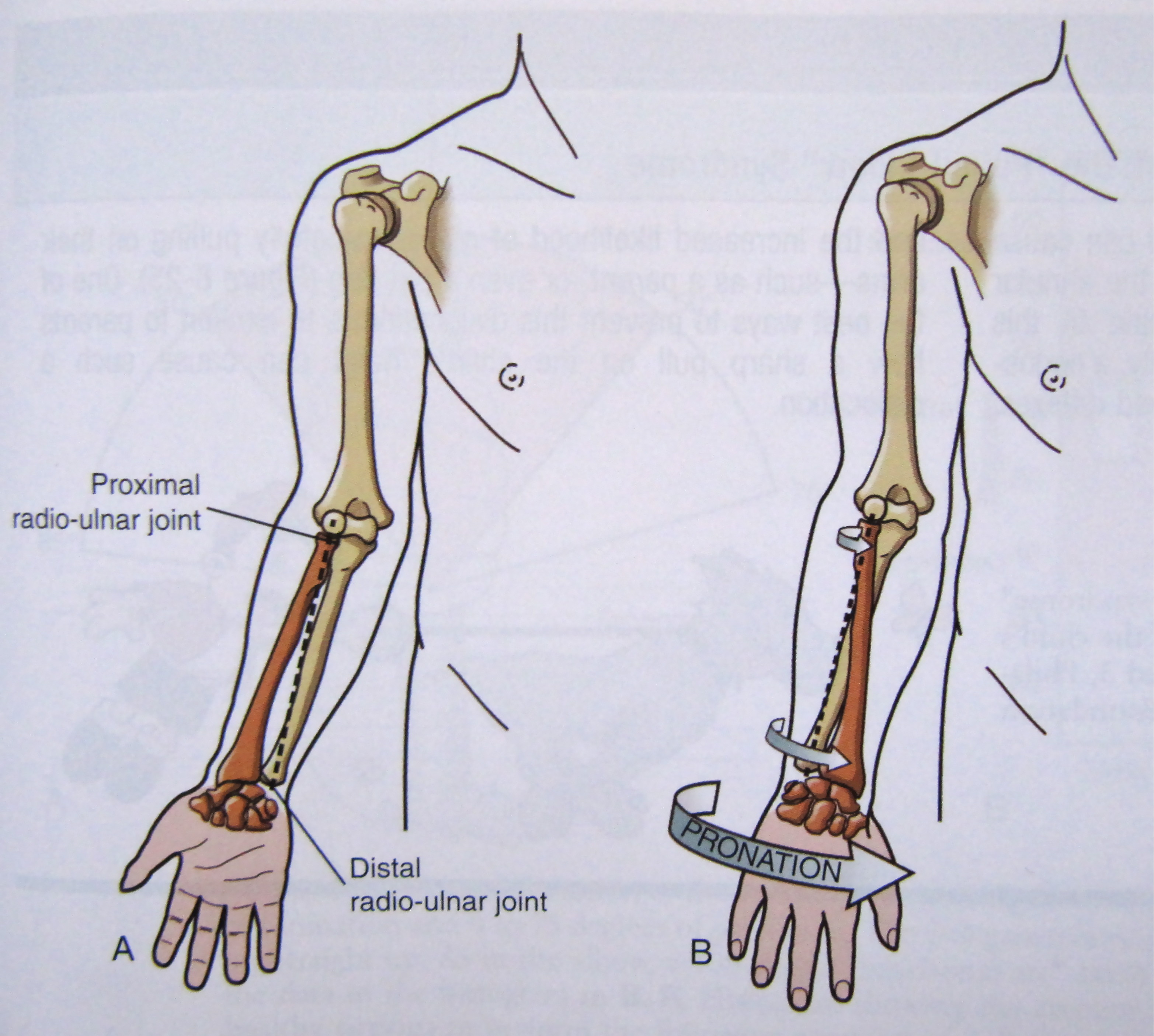 Notes On Anatomy And Physiology The Elbow Forearm Complex The