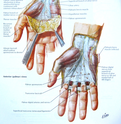 Notes On Anatomy And Physiology The Hand And The Tigers Mouth