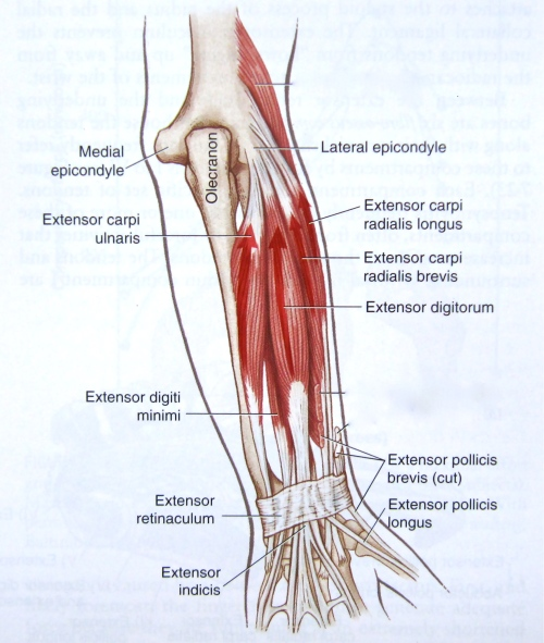 Srkibato2 Notes On Anatomy And Physiology One Big Tendon