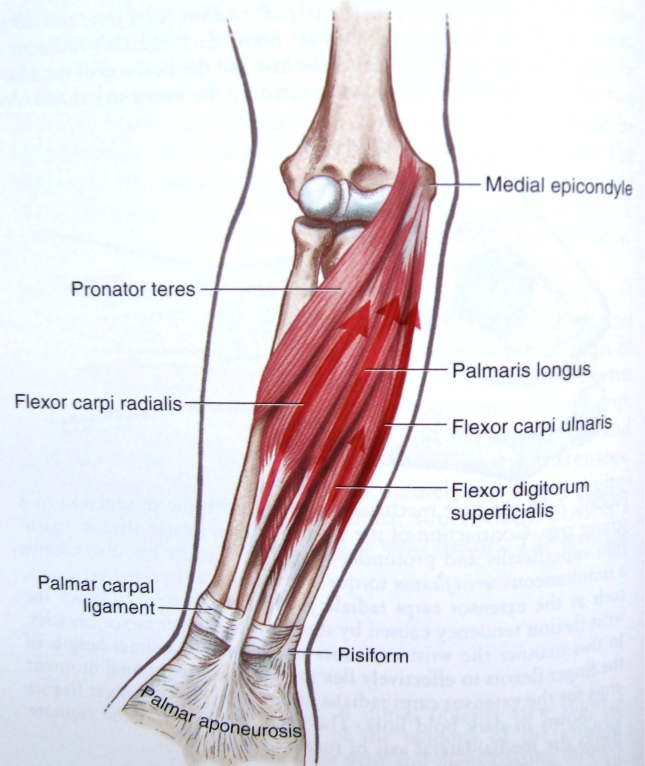 Online anatomy of the wrist muscles pdf ankle ligament anatomy
