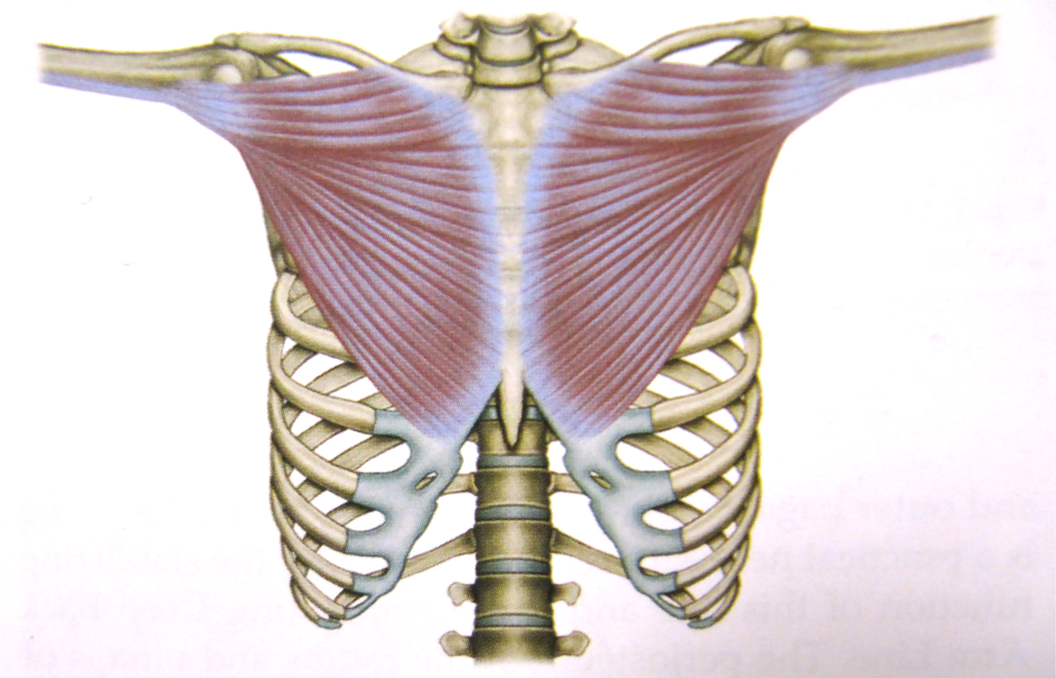 Notes on Anatomy and Physiology: More On The Ties That Bind - The ...