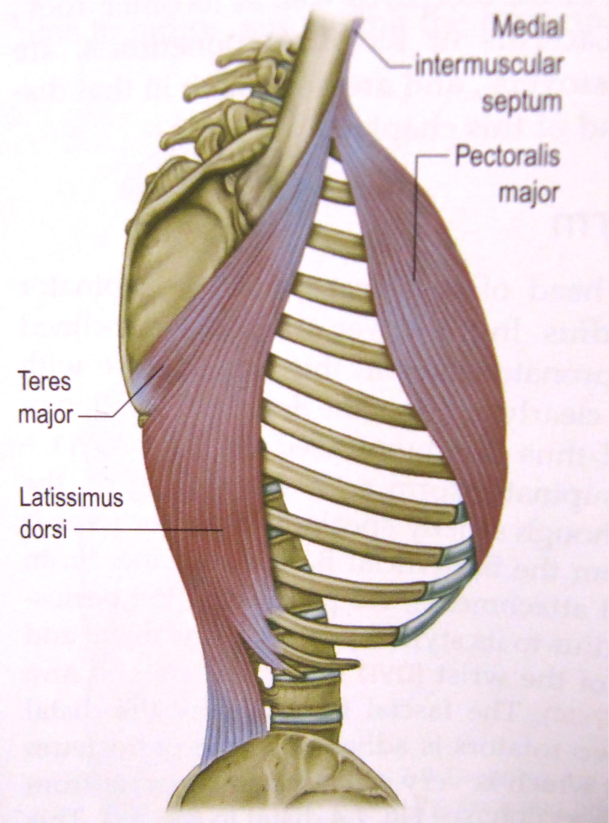 Image Result For Latissimus Dorsi Origin And Insertion