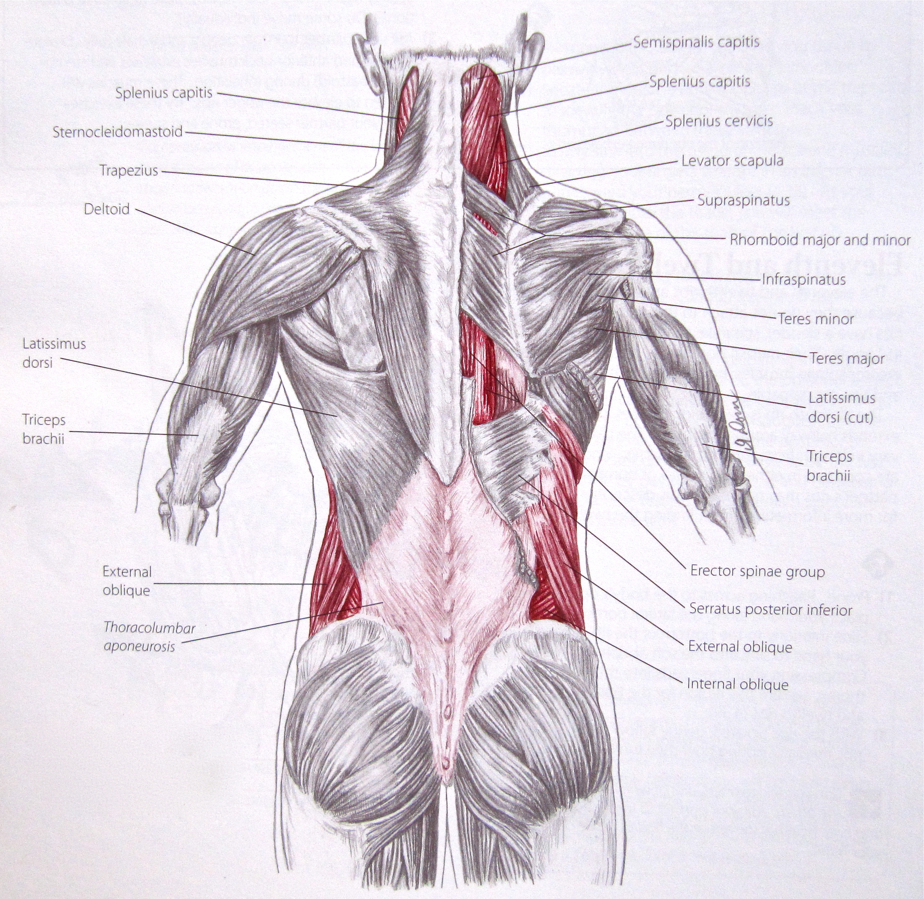 Notes on Anatomy and Physiology: Slings at the Front, Slings at the ...